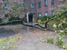 One of the many tree casualties in Stuyvesant Town. (Photo by Marilyn Pascarelli.)