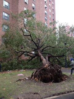 Uprooted tree in Peter Cooper Village (Photo by Dan Garodnick.)