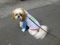 Shih tzu Bauer, owned by GNA Board Member Matt Fox, models a GNA onesie.