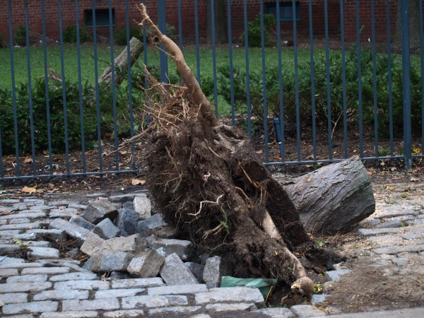 One of many tree casualties in the neighborhood, this one was found at 23rd Street and Avenue C. (Photo by Maria Rocha-Buschel)