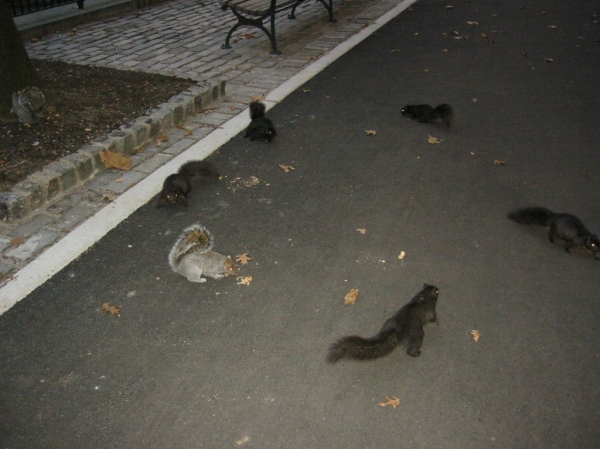 Squirrels frolick in Stuyvesant Town. (Photo by Sabina Mollot)