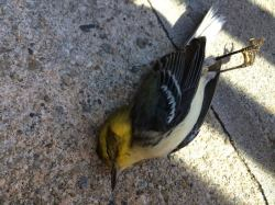 Black-throated Green Warbler that collided with a window in Stuyvesant Town