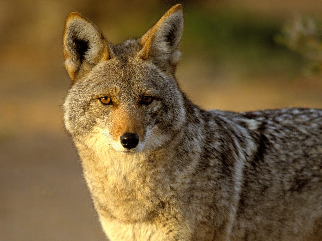 Image result for image, coyote
