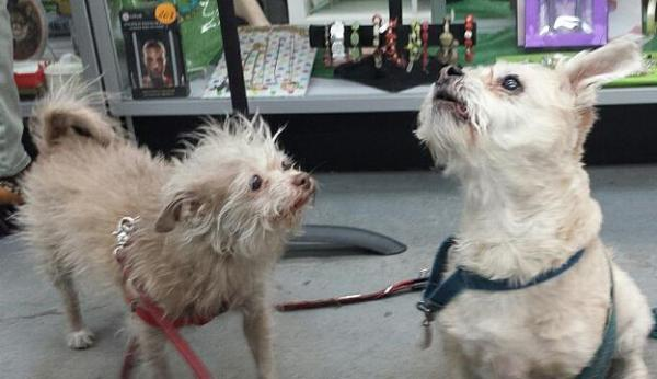 Shorty (left) and Riley at the store where Shorty has become the official mascot (Photo courtesy of Cauz for Pawz)