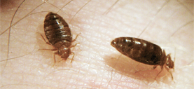 Landlords are responsible for treating an apartment for bed bugs, but tenants are responsible for preparing the apartment, which can be a costly endeavor.