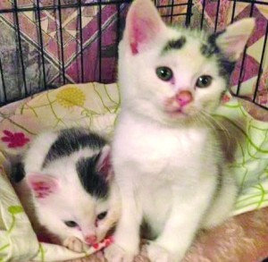 A pair of kittens rescued by Pascarelli and Bella on East 14th Street Photos by Marilyn Pascarelli)