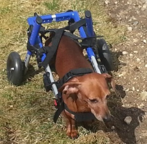 Woodstock, a dog owned by the manager at Nature's First pharmacy, is able to walk using a wheelchair now sold at the store on First Avenue and 18th Street.
