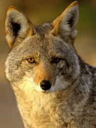 A coyote (not the one pictured) was spotted in Stuyvesant Town in January.