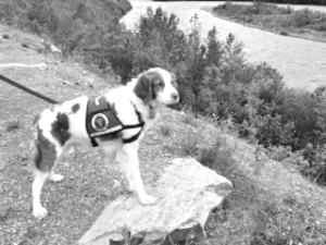 Bocci is a brittany, a breed generally known as a hunting dog. Photo courtesy of Cheryl Krist)