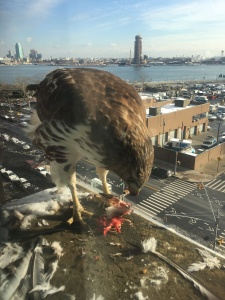 A hawk perches on an air conditioner in Stuyvesant Town after eating a pigeon. Photo by Jenny Dembrow)