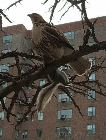 A hawk or possibly more than one has been seen around the complex lately. (Pictured) The early bird catches the squirrel in Peter Cooper Village last Monday. (Photo by Shlomit Shalit)