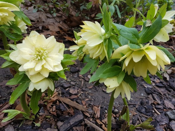 Winter has arrived, but gardens will still be blooming at local ...