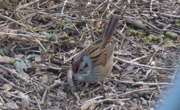 Swamp sparrow (Photos by Anne Lazarus)